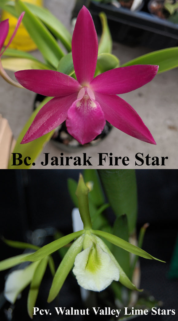 Bc. Jairak Fire Star x Pcv. Walnut Valley Lime Stars (2.5