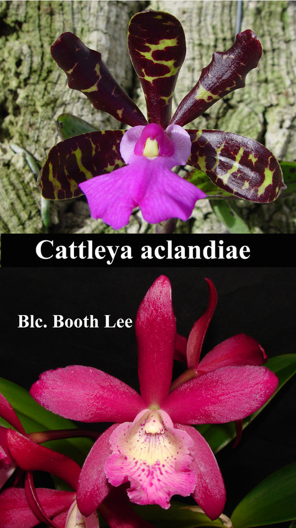 Bct. Playa Colorada <br> Blc. Booth Lee 'Venice' x C. aclandiae (2