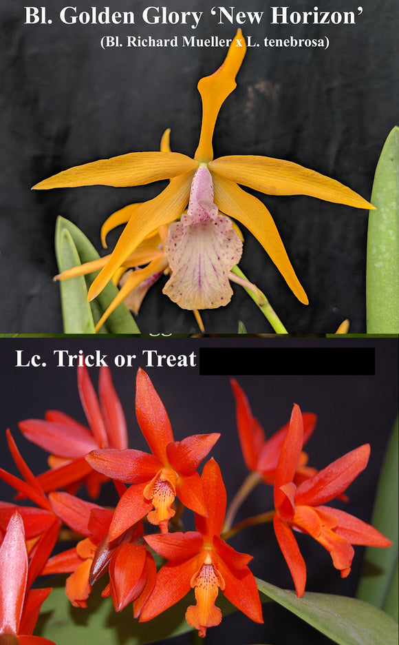 Blc. Golden Glory 'New Horizon' x Lc. Trick or Treat (2