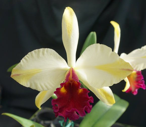 Blc. Fu Shu Glory 'Happy Holiday' (4