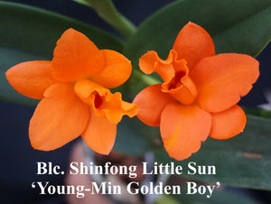"Pot. Shinfong Little Sun 'Young-Min Golden Boy' (4""p)"