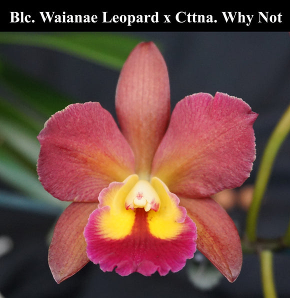 Blc. Waianae Leopard x Ctna. Why Not (4