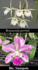 "Brassavoila perrinii 'Valley Isle' x Blc. Sunspots (4""p)"