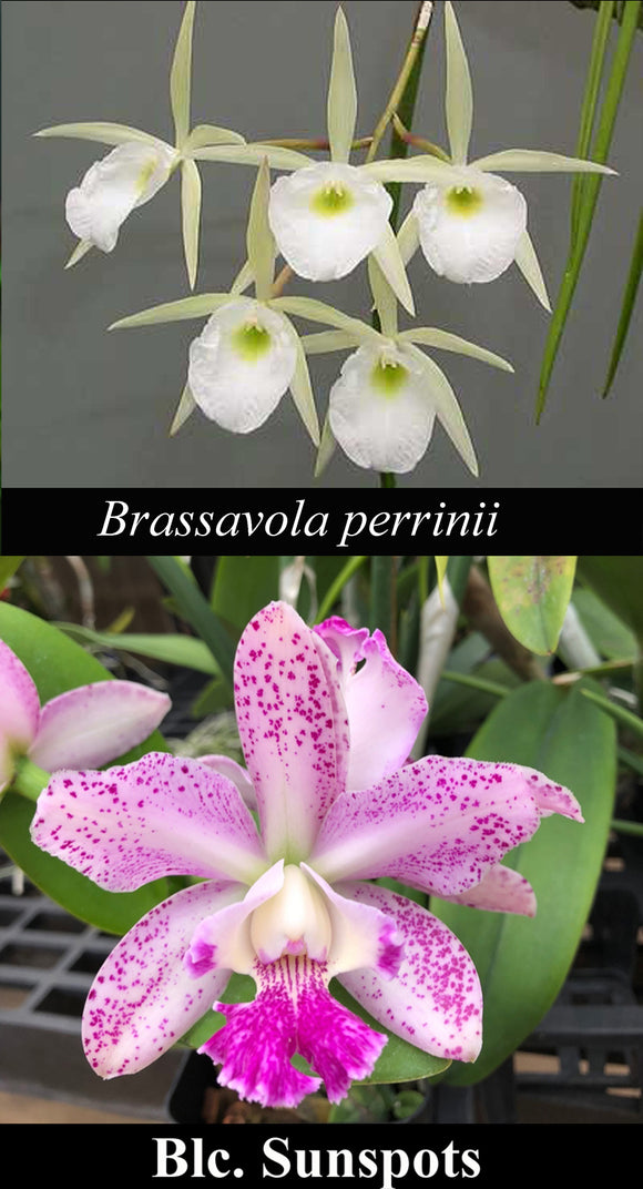 Brassavoila perrinii 'Valley Isle' x Blc. Sunspots (4