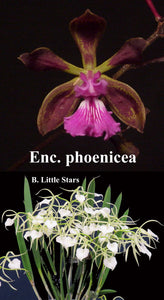 "Enc. phoenica x <br> B. Little Star (4"")"