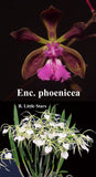 "Brassoepidendrum Jairak Treasure (4"")<br>(Enc. phoenica x B. Little Star)"