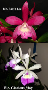 "Bct. Playa Carupano <br>Blc. Booth Lee 'Venice' AM/AOS<br>Blc. Glorious May 'Sarasota' (2"" pot)"