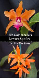 "(Blc. Goldenzelle x Low. Spitfire) x Lc. Trick or Treat (2""p)"