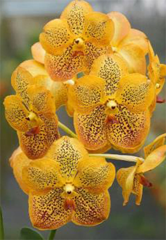 Vanda Sanchai Gold Spot 'No.9' (4