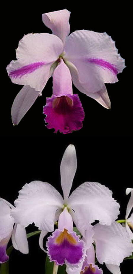 Cattleya trianaei 'Splash' x C. trianaei coerulea (2