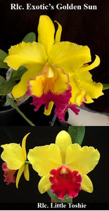 "Rlc. Exotic's Golden Sun 'Summertime' x Rlc. Little Toshie 'Gold Country' (2""p)"