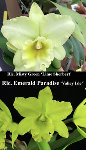 "Rlc. Misty Green 'Lime Sherbet' x Rlc Emerald Paradise 'Valley Isle' (2""p)"