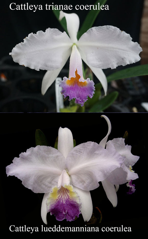 Cattleya Princess (coerulea?) (2