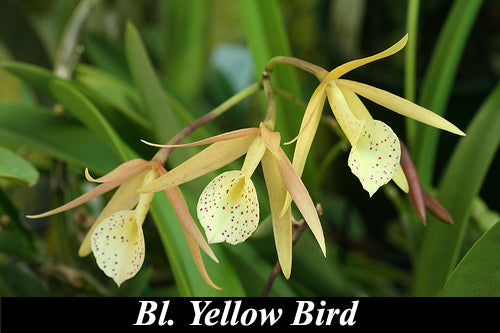 Bl. Yellow Bird  (2,5