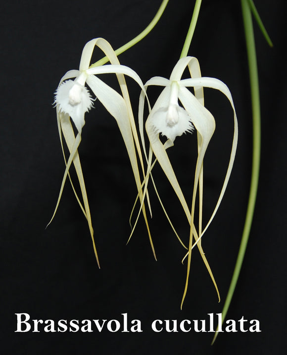 Brassavola Cucullata 'Summer Joy' x self (mounted)