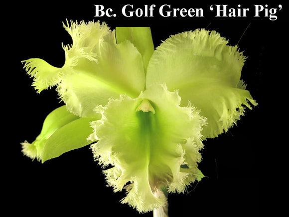 Blc. Golf Green 'Hair Pig' (6