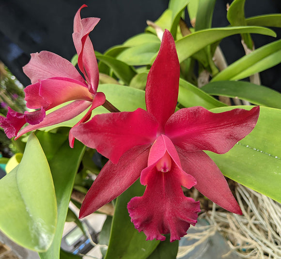 Blc. Cherry Suisse - Bare Root Large Division