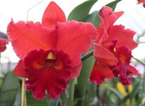 "Blc. Taiwan Chief Wine 'Van Gogh' (5""p)"
