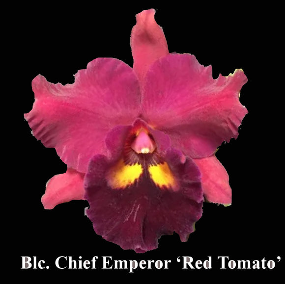 Blc. Chief Emperor 'Red Tomato' (6