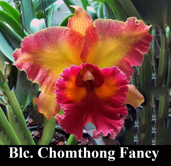 Blc. Chomthong Fancy (5