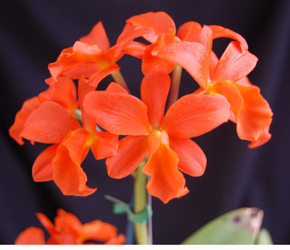 Blc. My Orange x self  (2