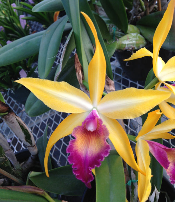 Blc Wow 'Exotic Accent' Meristem (2