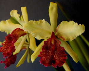 "C. dowiana 'Golden Glow'   x <br> self (2,5"")"