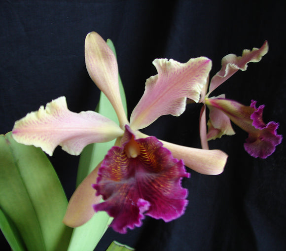 Cattleya dowiana var Rosita<br> About one year to bloom in a 3.5