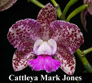 "Cattleya Mark Jones 'Peter's Gift' x self (4"" P)"