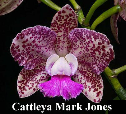 Cattleya Mark Jones 'Peter's Gift' x self (4