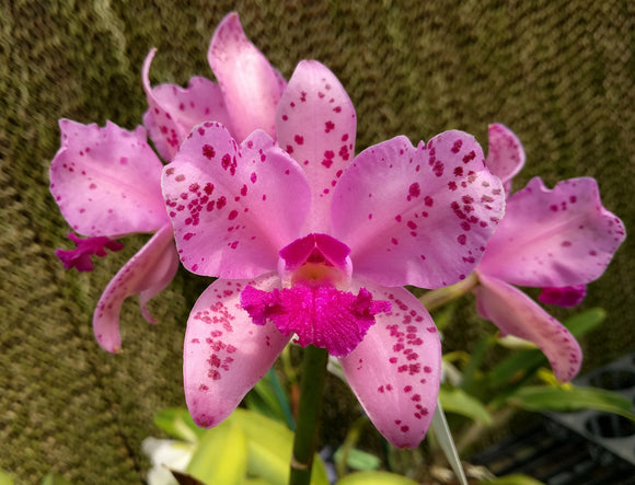C. amethystoglossa 'The Bright Spot' x 'Dark Spot' (4