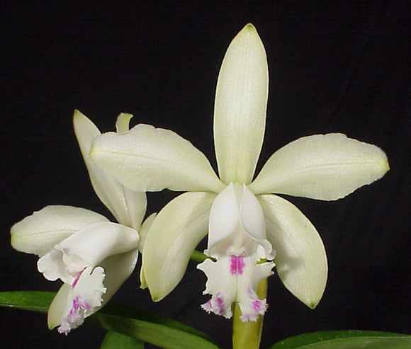 Cattleya intermedia s/a 'Sonia' x self (2
