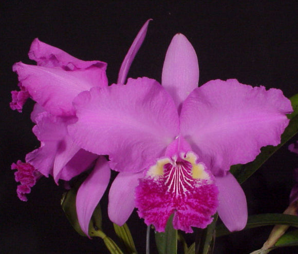 C. lueddemaniana color 'Tina' (5