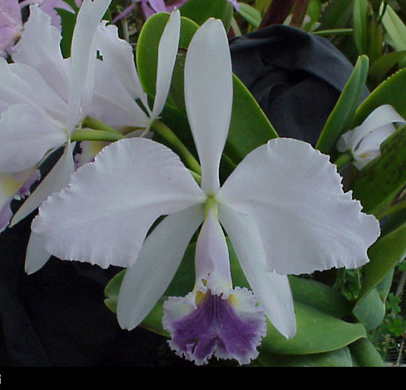 C. warnerii coerulea x <br> self (2