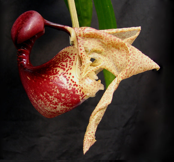 Coryanthes macrantha <br> x self (4