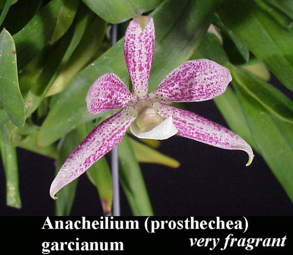 Encyclia garciana x self (4