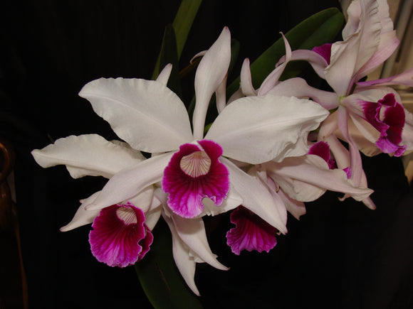 Laelia purpurata semi alba x <br> self (b/r)