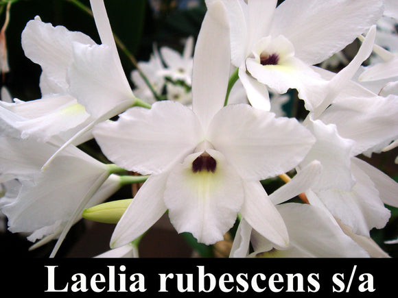 Laelia rubescens semi alba x self (Flask)