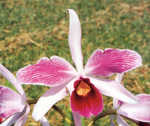 "Laelia purpurata Flamea 'Best In Sao Paulo' x <br>L. purpurata Flamea 'Mike's Magic' (2""p)"