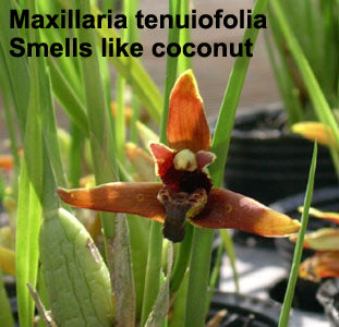 Maxillaria tenuifolia (coconut orchid) OVERGROWN and with buds(4