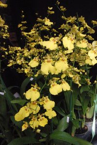 "Oncidium Sweet Sugar (4"")"