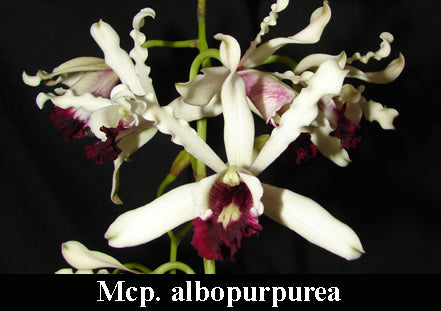 Mcp. albopurpurea x self (m)