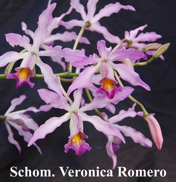 Schomburgkia Veronica Romero, large plant Mounted