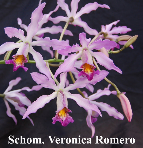 Sch. Orange Kahili x Sch Veronica Romero (2