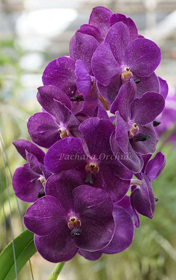 Vanda (Fuchs Delight 'Blue' x Dr Anek) IN SPIKE (4
