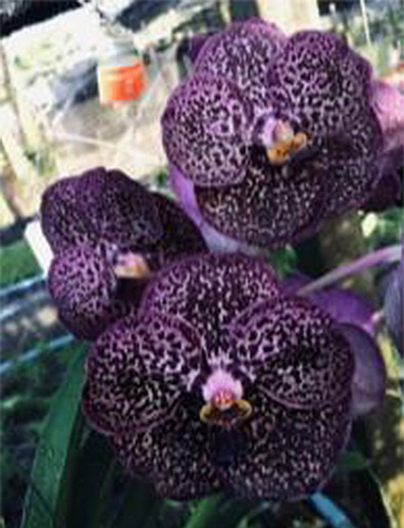 Vanda Kulwadee Fragrance 'No.9 Dark Spots' IN SPIKE (4
