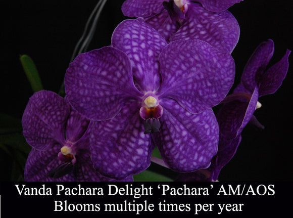 Vanda Pachara Delight 'Pachara' AM/AOS (4