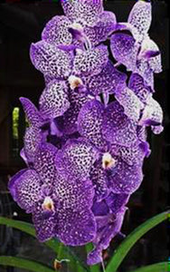 "Vanda Gordon Dillon x V. Fuchs Delight (4""p)"