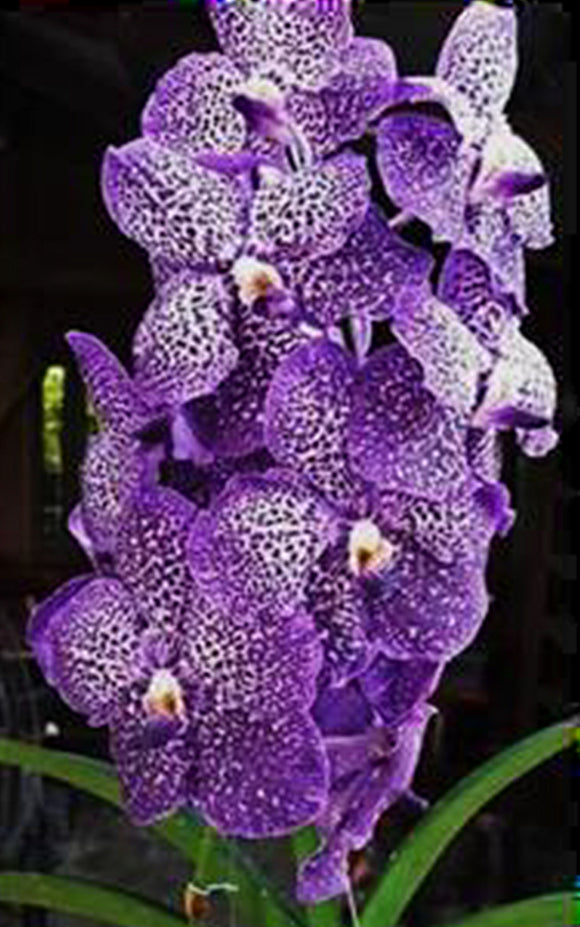 Vanda Gordon Dillon x V. Fuchs Delight (4