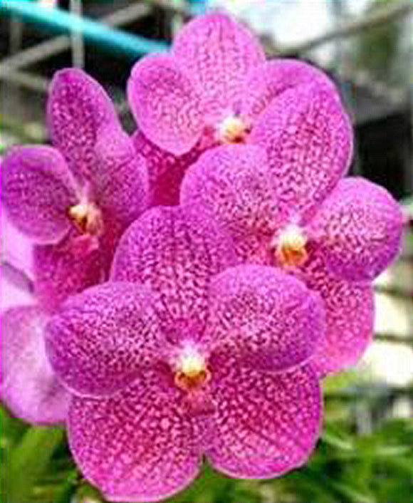 Vanda Pachara Rosa Diamond IN SPIKE (4